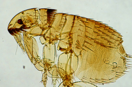 Picture of a flea