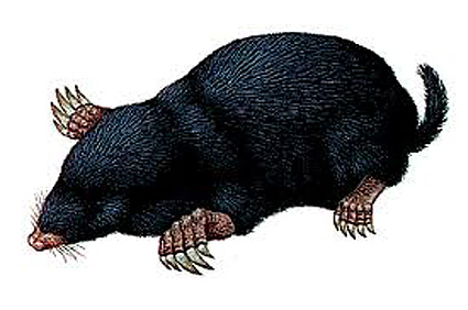 picture of a mole