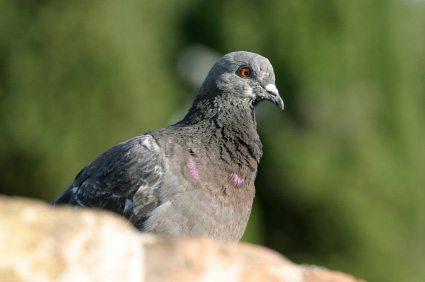 picture of a pigeon