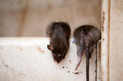 picture of some mice
